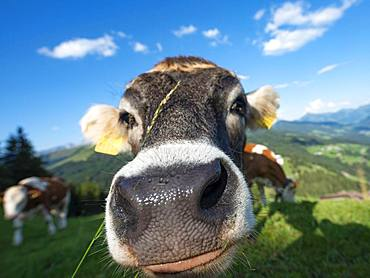 Curious young calf (Bos primigenius taurus) stretches snout to camera, grey cattle, animal portrait, Hochbrixen, Brixen im Thale, Tyrol, Austria, Europe