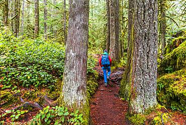 Hiker on a hiking trail in the rainforest between thick tree trunks, Mount Baker-Snoqualmie National Forest, Washington, USA, North America