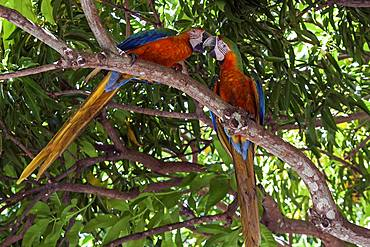 Two Scarlet macaws (Ara macao), animal pair sitting on a branch in a tree and beaking, Guanacaste province, Costa Rica, Central America