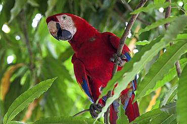 Scarlet macaw (Ara macao), sitting on a branch in a tree, Guanacaste province, Costa Rica, Central America