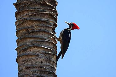 Lineated woodpecker (Dryocopus lineatus) sits on the tree trunk of a palm tree, Samara, Nicoya Peninsula, Guanacaste Province, Costa Rica, Central America