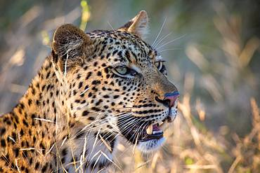 African Leopard (Panthera pardus) looks into the distance, animal portrait, nature reserve Klaserie, South Africa, Africa