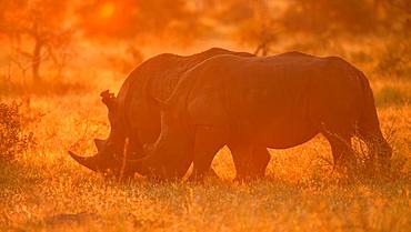 White rhinoceros (Ceratotherium simum), couple grazing in backlight, sunset, Manyeleti Game Reserve, South Africa, Africa