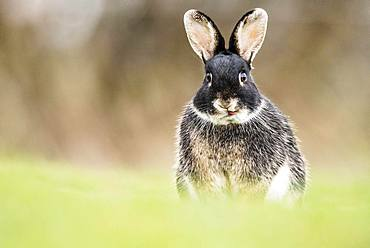 European rabbit (Oryctolagus cuniculus), intersection with Domestic rabbit (Oryctolagus cuniculus forma domestica), sits in meadow, Lower Austria, Austria, Europe
