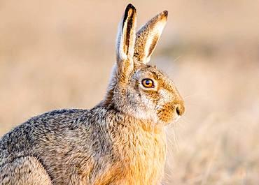 European hare (Lepus europaeus) sits in field, Burgenland, Austria, Europe
