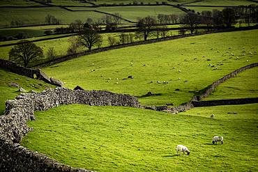 Domestic sheep (Ovis gmelini aries) on pasture surrounded by stone walls, Ingelton, Yorkshire Dales National Park, Midlands, Great Britain