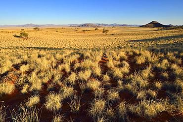 With grass overgrown dunes, view over desert landscape, NamibRand Nature Reserve, Namib desert, Namibia, Africa