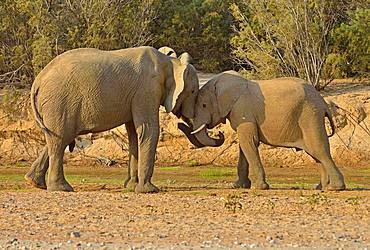 Namibian Desert elephants (Loxodonta africana), Bull and cow, Hoarusib River, Namib Desert, Kaokoland, Kaokoveld, Kunene Province, Namibia, Africa