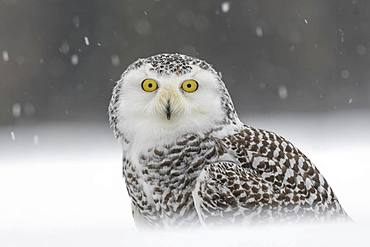 Snowy owl (Bubo scandiacus), sitting in the snow, snowstorm, animal portrait, captive, Sumava National Park, Bohemian Forest, Czech Republic, Europe