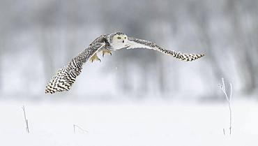 Snowy owl (Bubo scandiacus), flying in a snowy landscape, captive, Sumava National Park, Sumava Forest, Czech Republic, Europe