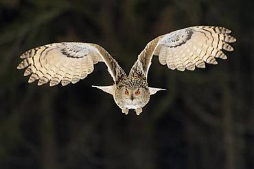 Siberian Eagle Owl (Bubo bubo sibiricus), adult female in flight, captive, Bohemia, Czech Republic, Europe