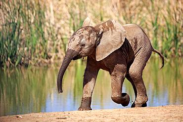 African elephant (Loxodonta africana), young animal at the water, running, Addo Elephant National Park, Eastern Cape, South Africa, Africa