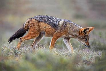 Black-backed Jackal (Canis mesomelas), adult, on the stalk, Addo Elephant National Park, Eastern Cape, South Africa, Africa