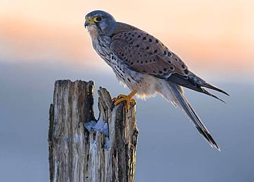 Common Common Kestrel (Falco tinnunculus), male on pile at sunset, biosphere area Swabian Alb, Baden-Wuerttemberg, Germany, Europe