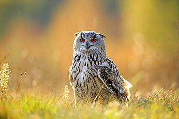 Siberian Eagle Owl (Bubo bubo sibiricus), adult, standing in meadow, Slovakia, Europe