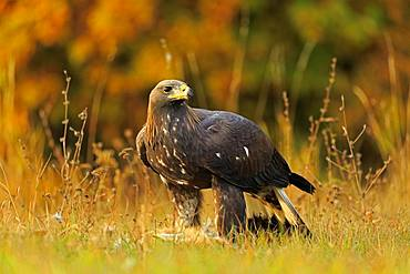 Golden eagle (Aquila chrysaetos), adult, with prey, Slovakia, Europe
