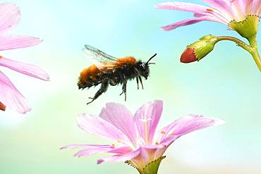 Tawny mining bee (Andrena fulva) in flight on the flower of Lewisia (Lewisia), Germany, Europe