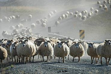 Domestic sheep (Ovis aries), herd is driven from the highlands into the valley, sheep drive or Rettir, near Laugarbakki, North Iceland, Iceland, Europe