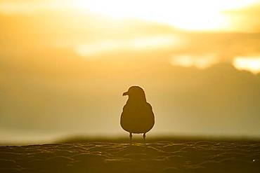 Silhouette of a Great skua (Stercorarius skua) on the beach, Joekulsarlon, South Iceland, Iceland, Europe