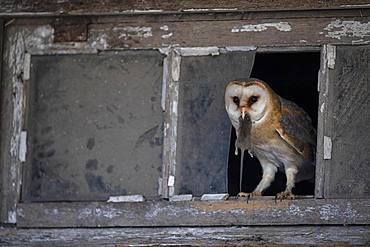 Common barn owl (Tyto alba) with captured mouse, North Holland, Netherlands