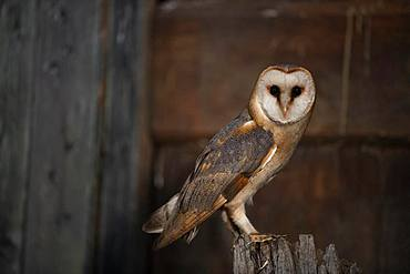 Common barn owl (Tyto alba), North Holland, Netherlands