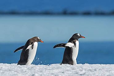 Two Gentoo penguins (Pygoscelis papua), running consecutively, Antarctica