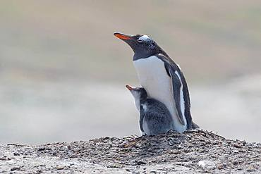Gentoo penguin (Pygoscelis papua), with xoung animal, Falkland Islands, South America