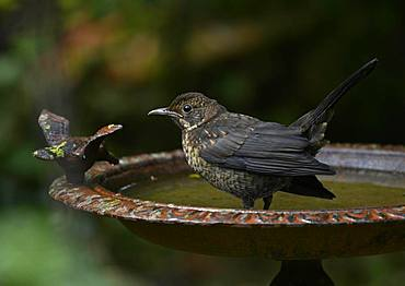Thrush (Turdidae) baths in bird bath, Baden-Wuerttemberg, Germany, Europe