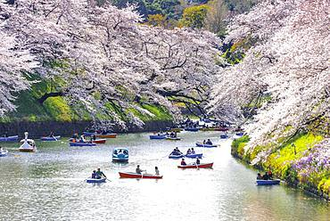 Japanese rowing in boats on the Imperial Palace canal to cherry blossom, Hanami moored, blossoming cherry trees, Chidorigafuchi Green Way, Tokyo, Japan, Asia