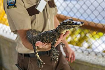 Ranger holds a two-year-old alligator (Alligator mississippiensis) on his arm, Safari Park, Everglades National Park, Florida, USA, North America
