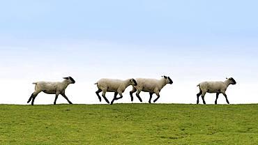 Running sheep on a dike, East Frisia, Lower Saxony, Germany, Europe