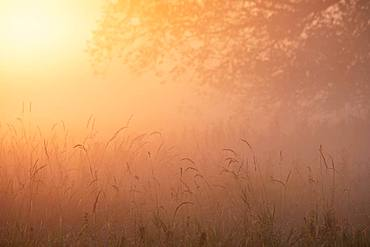 Warm morning light and morning haze at sunrise over a meadow, Elbe meadows near Dessau, Middle Elbe Biosphere Reserve, Saxony-Anhalt, Germany, Europe