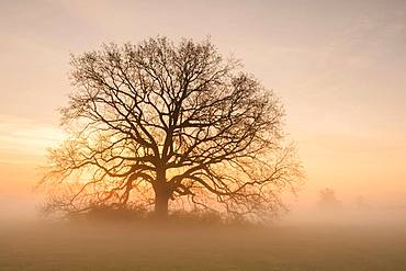 Golden morning light, old Solitaire Oak, English oak (Quercus robur) on the meadows of the Elbe in the morning fog, Middle Elbe Biosphere Reserve, Saxony-Anhalt, Germany, Europe