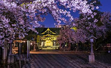 Ueno Toshogu Shrine at Night, Cherry Blossom in Spring, Ueno Park, Taito City, Tokyo, Japan, Asia
