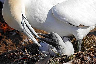 Northern gannet (Sula bassana) feeds chicks in the nest, Helgoland, Schleswig-Holstein, Germany, Europe