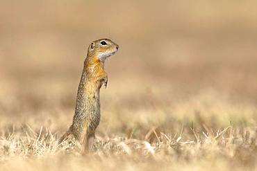 Suslik (Citellus citellus), young animal stands attentively in dry meadow, National Park Lake Neusiedl, Seewinkel, Burgenland, Austria, Europe