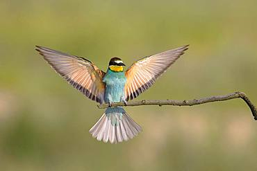Bee-eater (Merops apiaster) approaching a branch with spread out wings, National Park Lake Neusiedl, Burgenland, Austria, Europe