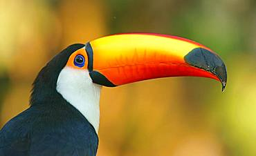 Toco toucan (Ramphastos toco), animal portrait, Pantanal, Mato Grosso, Brazil, South America