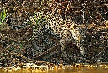 Jaguar (Panthera onca) on the riverbank, Pantanal, Mato Grosso, Brazil, South America