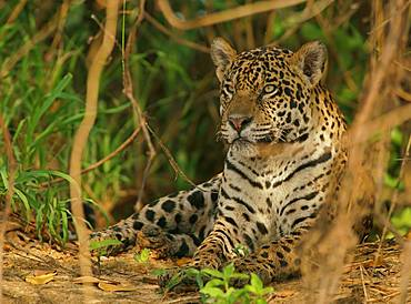 Jaguar (Panthera onca) rests in hiding, Pantanal, Mato Grosso, Brazil, South America