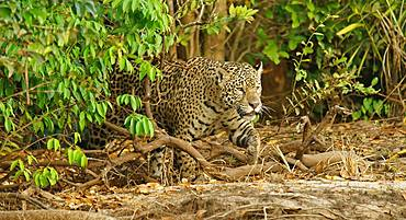 Jaguar (Panthera onca) sneaks at the riverbank, Pantanal, Mato Grosso, Brazil, South America