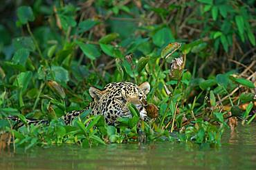 Jaguar (Panthera onca) camouflaged by leaves in water, looking out, Pantanal, Mato Grosso, Brazil, South America
