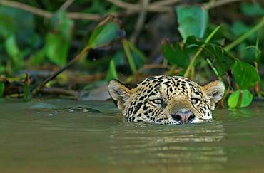 Jaguar (Panthera onca) swims in water, Pantanal, Mato Grosso, Brazil, South America