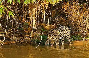 Jaguar (Panthera onca) on the riverbank drinking, Pantanal, Mato Grosso, Brazil, South America