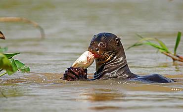 Giant otter (Pteronura brasiliensis) eats captured fish in water, Pantanal, Mato Grosso, Brazil, South America