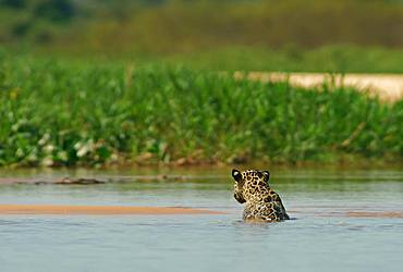 Jaguar (Panthera onca) sits in the water, Pantanal, Mato Grosso, Brazil, South America