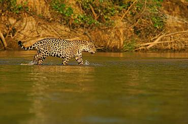 Jaguar (Panthera onca) running in river, Pantanal, Mato Grosso, Brazil, South America