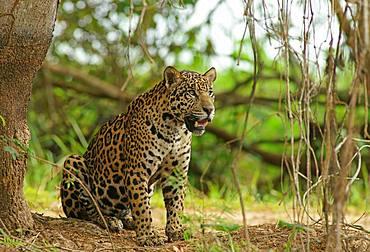 Jaguar (Panthera onca) looking out, sitting on riverbank, Pantanal, Mato Grosso, Brazil, South America