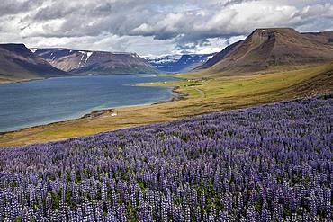 View of fjord landscape, blue flowering Nootka lupins (Lupinus nootkatensis) in front, near Pingeyri, Westfjorde, Iceland, Europe