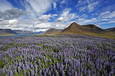 View on fjord landscape, blue flowering Nootka lupins (Lupinus nootkatensis) in front, cloud formation. near Pingeyri, Westfjorde, Iceland, Europe